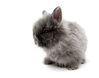 Little Angora bunny #2 Royalty Free Stock Photos