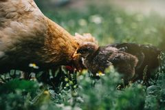 Little angry chicken standing on the earth and shouting. Baby chicken in poultry farm stock photo