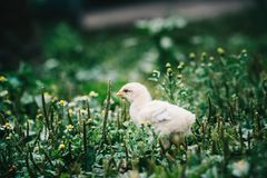 Little angry chicken standing on the earth and shouting. Close up newborn yellow chicken in warm tone and yellow beak on the grass field on green background royalty free stock image
