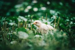 Little angry chicken standing on the earth and shouting. Close up newborn yellow chicken in warm tone and yellow beak on the grass field on green background stock photography