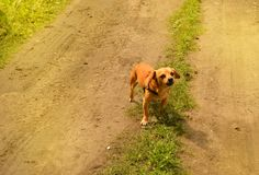 Little angry red dog stands on the road and looks aggressively, outdoors on a summer day. Brown small portrait looking walking guarding attacking biting animals royalty free stock photos