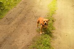 Little angry red dog stands on the road and looks aggressively, outdoors on a summer day. Brown small portrait looking walking guarding attacking biting animals stock image