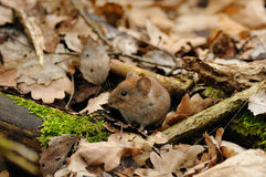 Mouse in the Leaves Royalty Free Stock Image