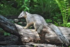 White-tailed Mongoose  Royalty Free Stock Image