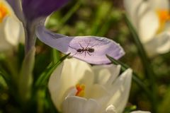 Little ant on the crocus leaf stock photography