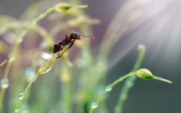 Little ant in dew Royalty Free Stock Photography