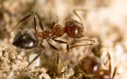 Little ant in nature. super macro Royalty Free Stock Images