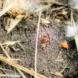 Little Ant. A little red and brown ant walking on the ground in middle of the straws Stock Photo