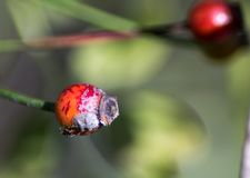 Little ant in red fruit stock image