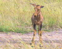 Little antelope topi Royalty Free Stock Photo