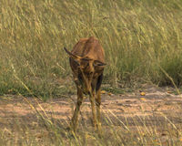 Little antelope topi Royalty Free Stock Images