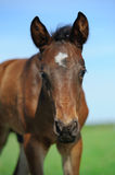 Little arabian foal looking Royalty Free Stock Images