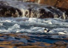 Little auk, black and white bird lying in the waves in sea near the coast. In november. Kristiansand, Norway Stock Image