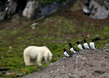 Little Auks and polar bear Stock Photography