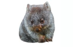 Little australian wombat. Sweet and tender little australian wombat in position marsupial. Isolated on white background. The Wombat is a crepuscular and Royalty Free Stock Photos