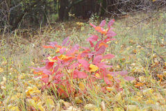 Little Autumn Bush with Red Leaves in Wild entirely stock images