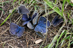 Little azure butterflies Royalty Free Stock Photography