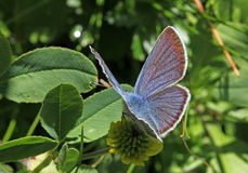 Little azure butterfly (cupido minimus) Royalty Free Stock Image