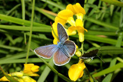 Little azure butterfly Stock Photo