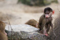 Little baboon. Tiny baboon looking at a big baboon stock photos