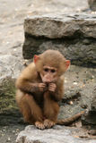 Little baboon monkey eating Royalty Free Stock Image