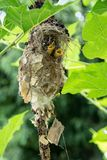 Little baby birds in bird`s nest waiting for food from the mothe. R bird royalty free stock photos