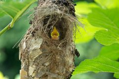 Little baby birds in bird`s nest waiting for food. From the mother bird stock image