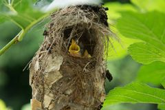 Little baby birds in bird`s nest waiting for food. From the mother bird royalty free stock photography