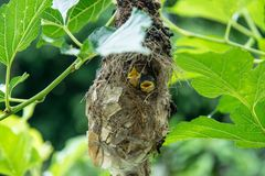 Little baby birds in bird`s nest waiting for food. From the mother bird stock images