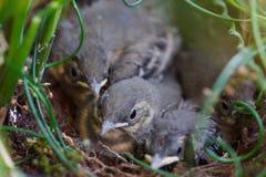 Little birds in nest. Little baby birds in nest royalty free stock images