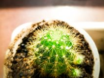 Little Baby Cactus Royalty Free Stock Photo