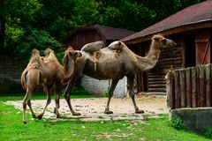 Little baby camel and mother camel royalty free stock photo