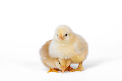 Little baby chicken 2. Little baby chicken isolated on white Stock Photo