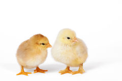 Little baby chicken. Isolated on white Stock Images