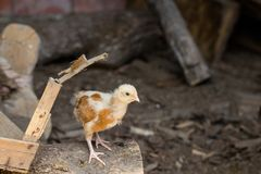 Little baby chicken as domestic animal. Climbing on a wooden board on a country farm as ecology agriculture concept background Royalty Free Stock Photos