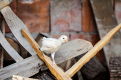 Little baby chicken climbing on a wooden board on a country farm Stock Images