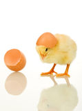 Little baby chicken with egg shell Stock Images