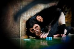 Little baby chimpanzee monkey sits expression looking stock photo
