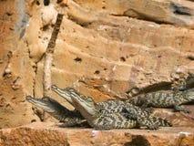 Little baby crocodile Stock Photos