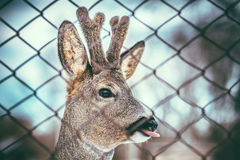 Little baby deer showing tongue Royalty Free Stock Image