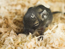 Little Baby Degu. Sleeping in sawdust Royalty Free Stock Photo