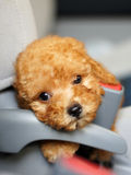 Little baby dog Royalty Free Stock Photography
