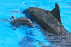 Little Baby Dolphin With Her Mother Stock Image