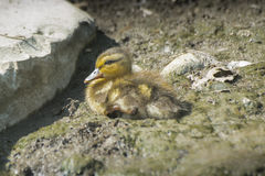 Little baby duck on ground Stock Images