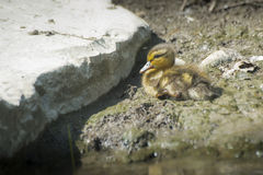 Little baby duck on ground Stock Photo