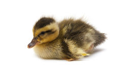 Little Baby Duck. Isolated over white background stock photography