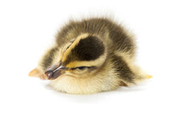 Little Baby Duck royalty free stock photos