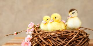 Little baby duck in a nest stock images