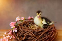 Little baby duck in a nest royalty free stock photo