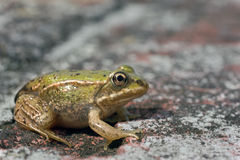 Little baby frog on a brick wall Stock Images